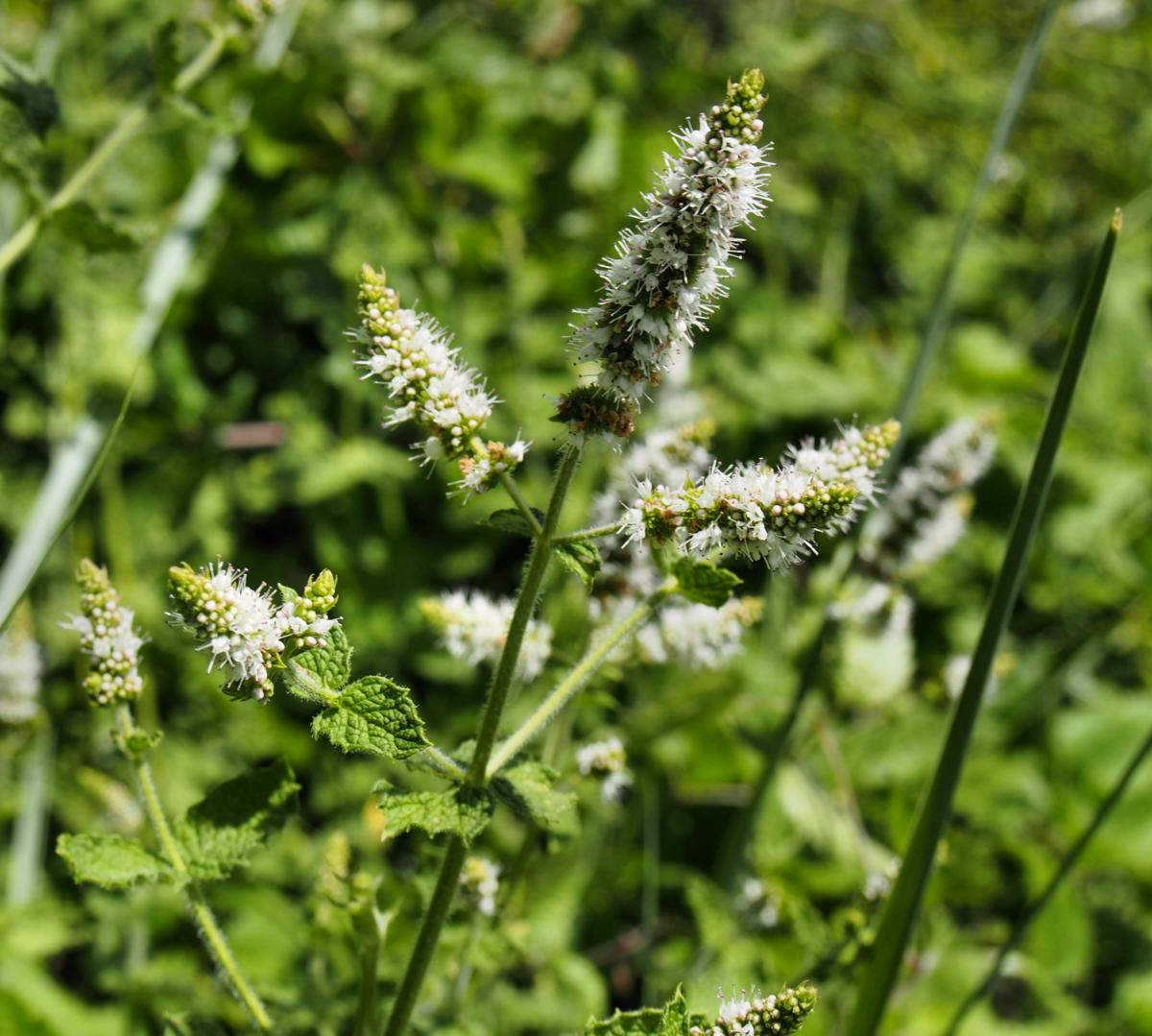 Mint, Apple flower