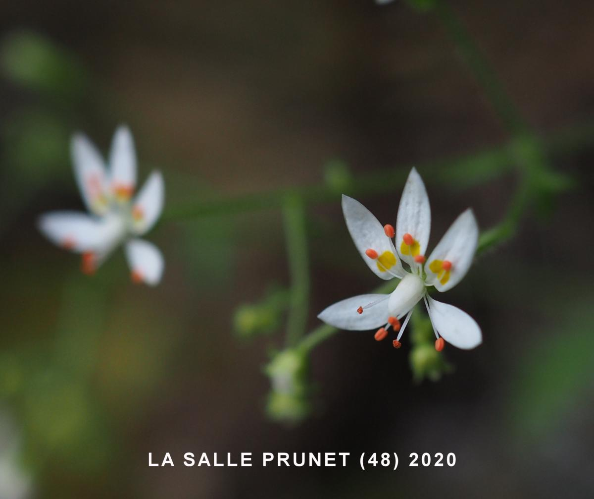 Saxifrage, French flower