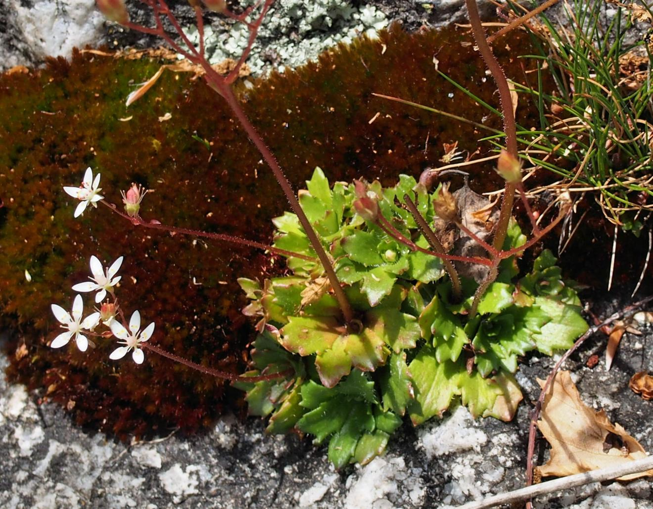 Saxifrage, Starry