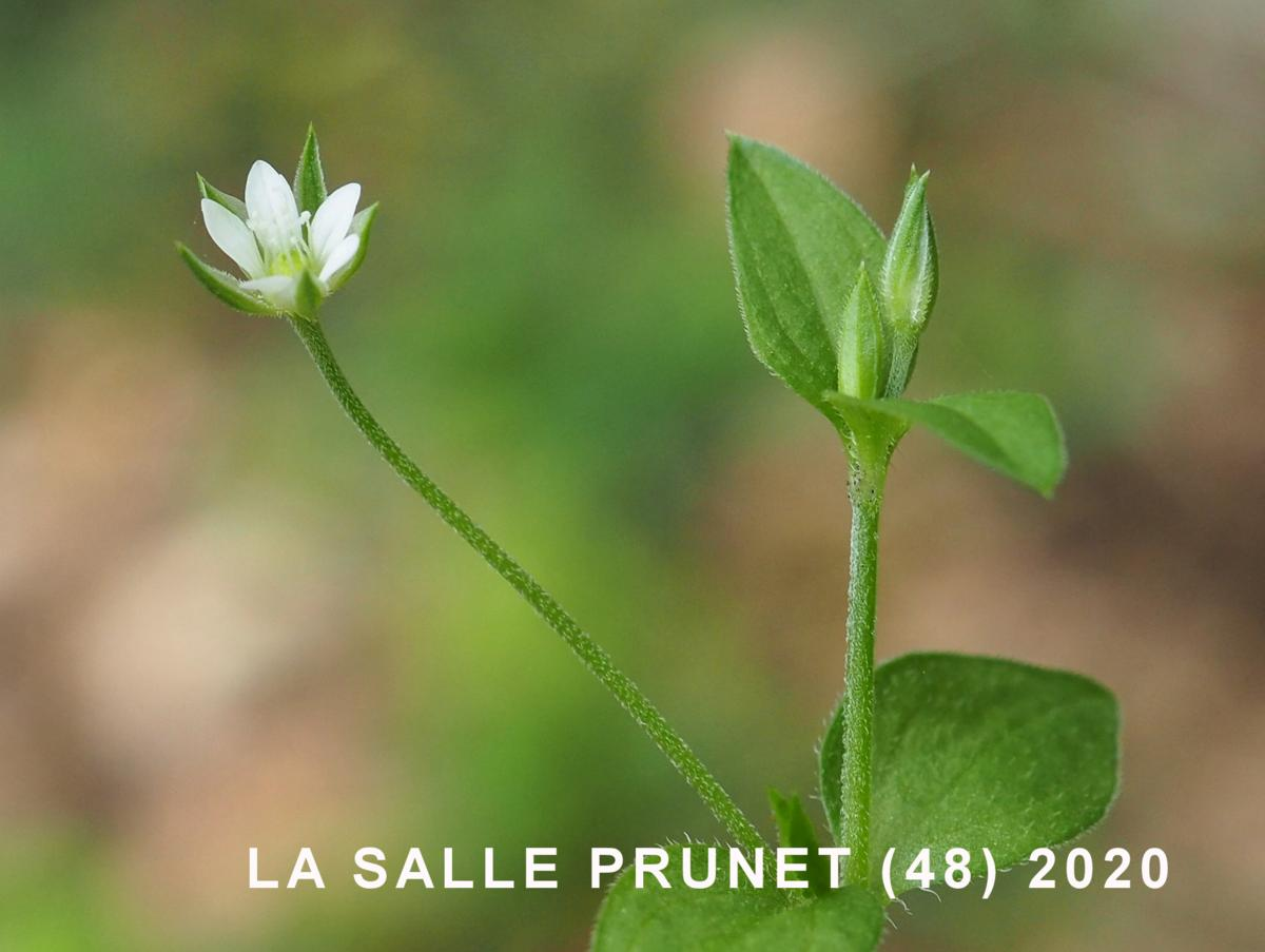 Sandwort, Three-veined