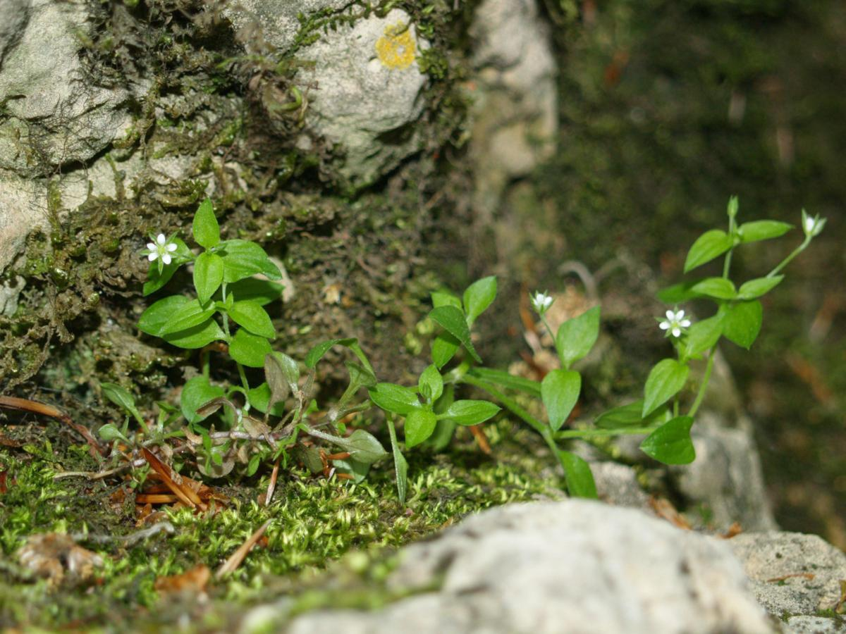 Sandwort, Three-veined plant