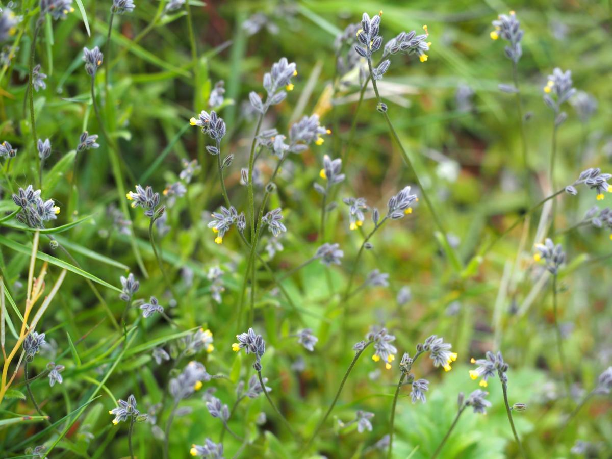 Forget-me-not, [Balbis's] plant