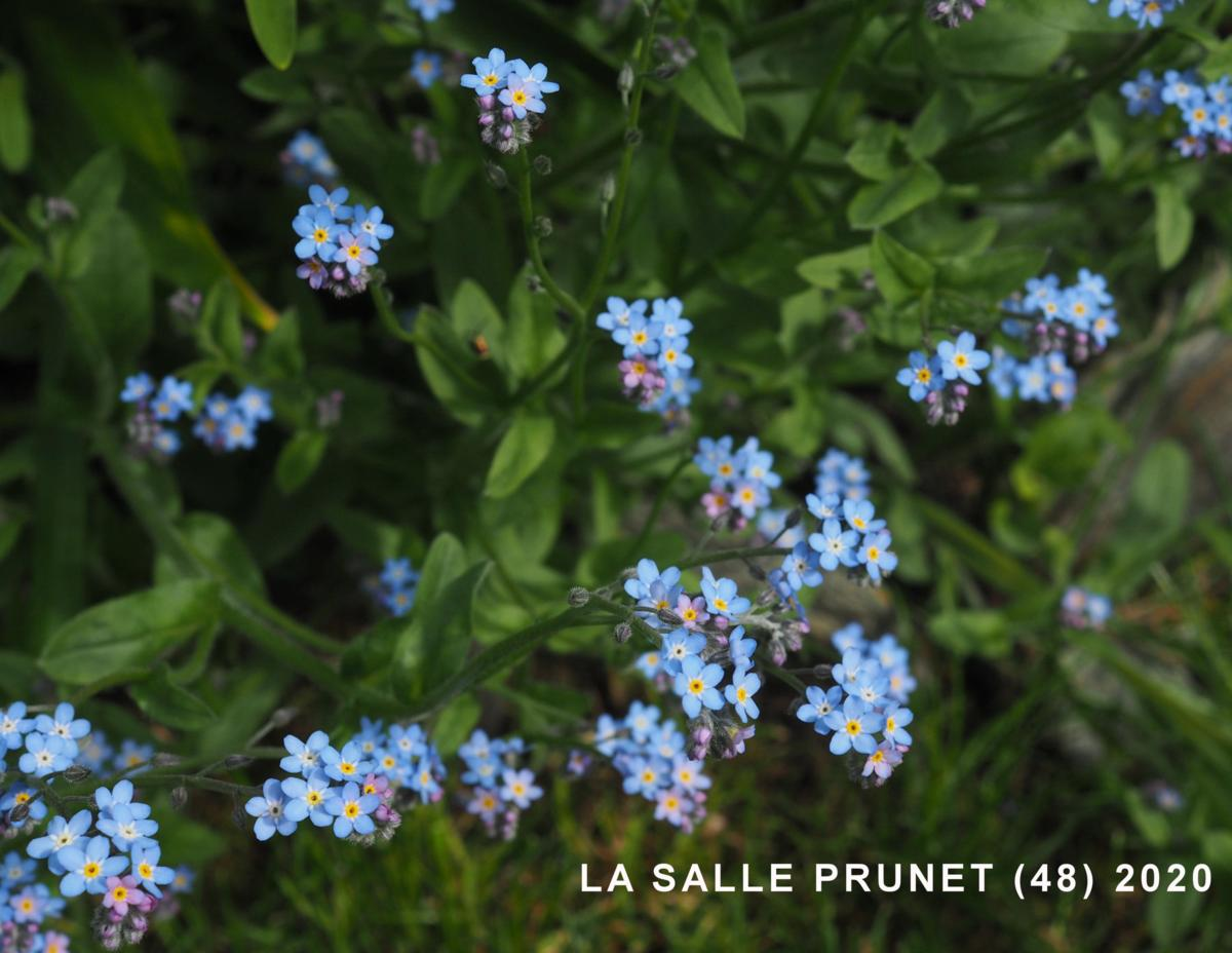 Forget-me-not, Wood plant