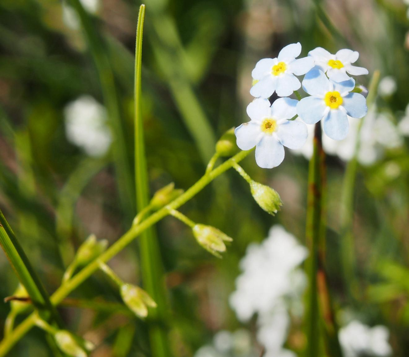 Forget-me-not, Marsh