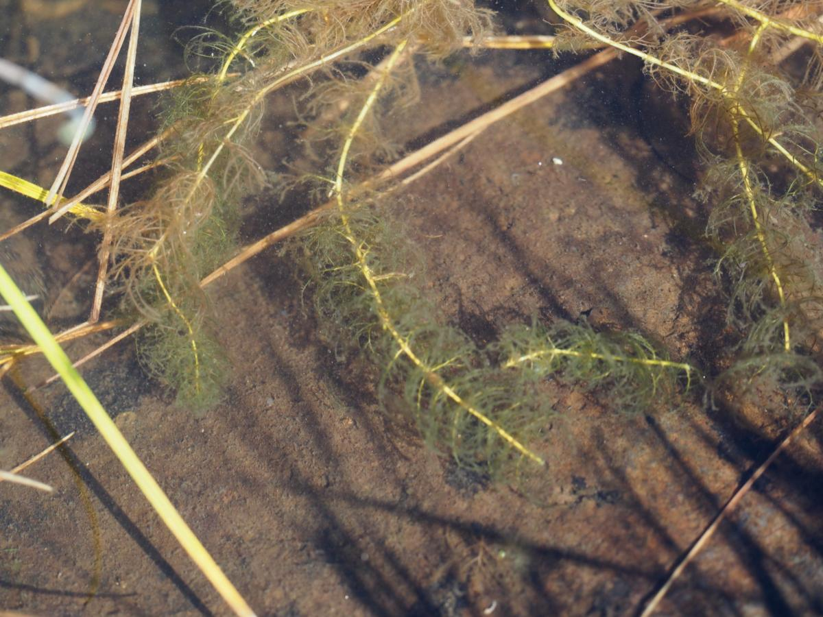 Water-milfoil, Alternate-leaved plant