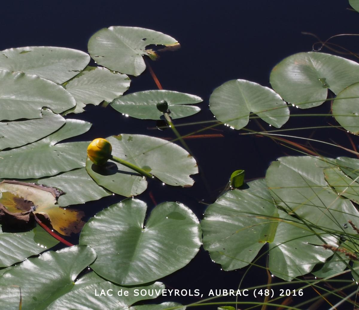 Waterlily, Yellow leaf