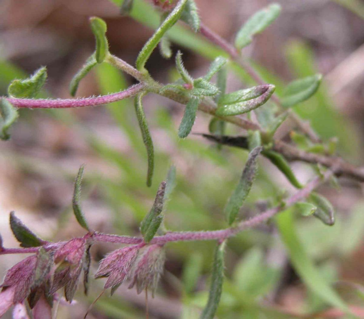 Bartsia, Red leaf