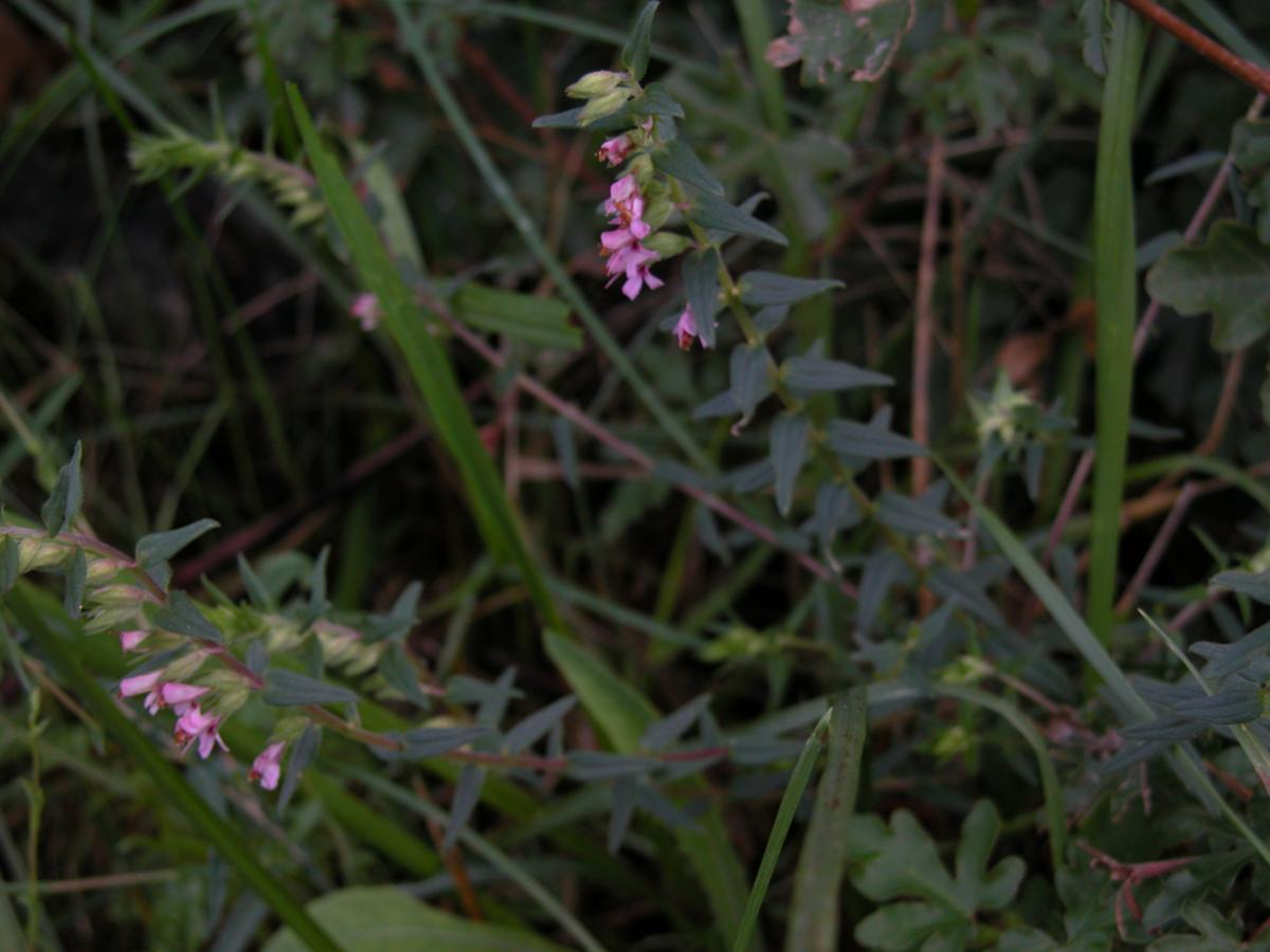 Bartsia, Red plant