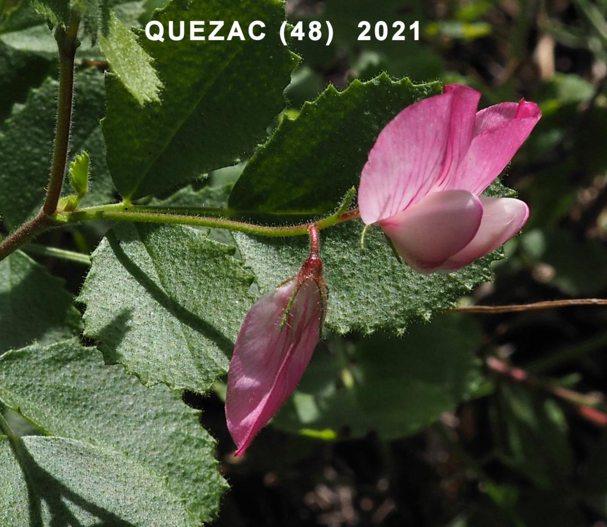 Restharrow, round-leaved flower