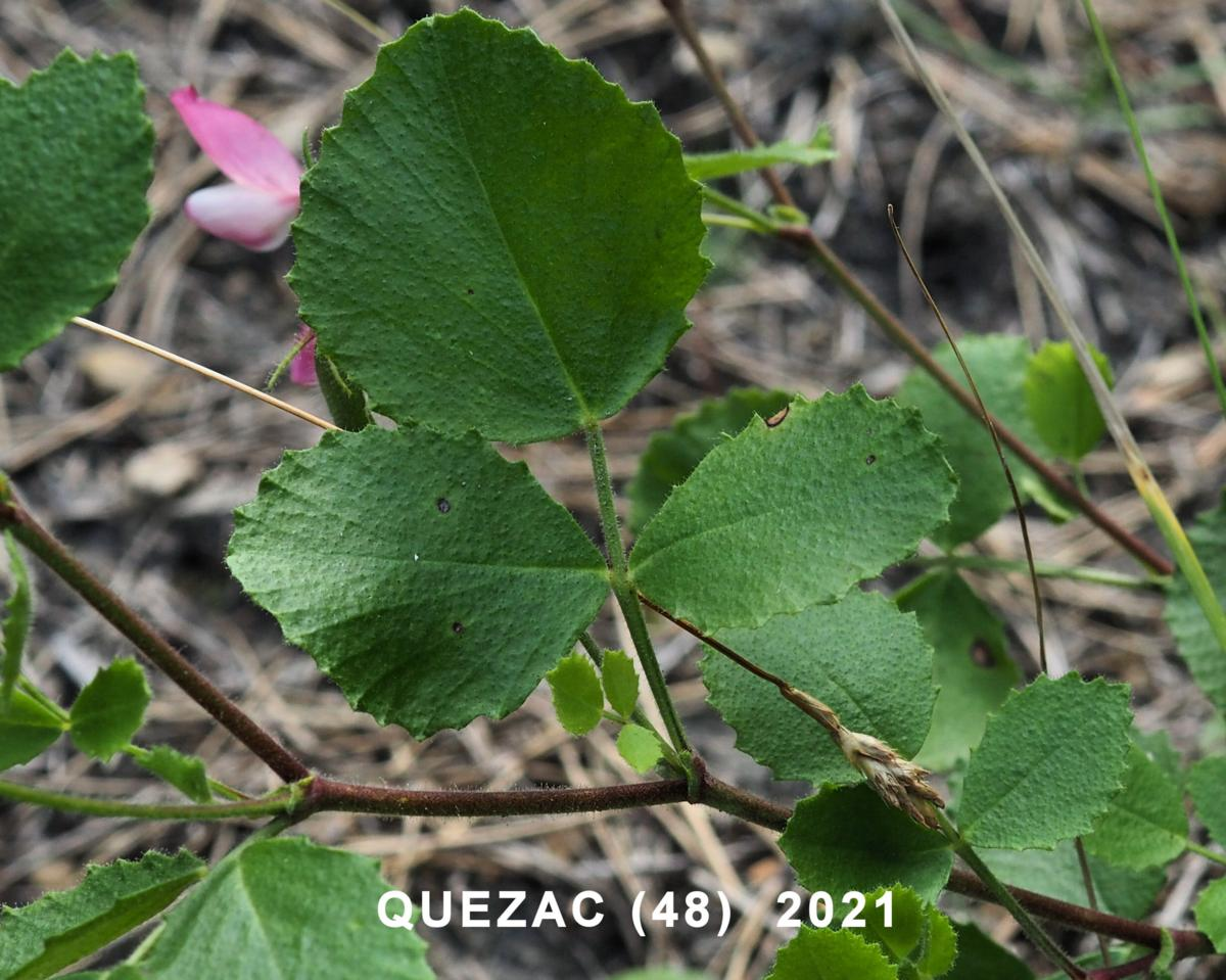Restharrow, round-leaved leaf