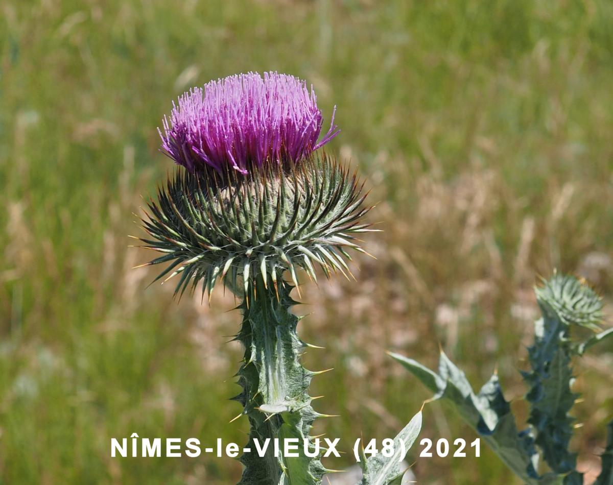Thistle, Scotch, Cotton thistle
