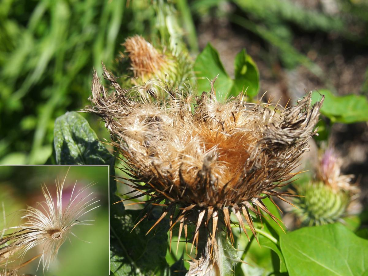 Thistle, Scotch, Cotton thistle fruit