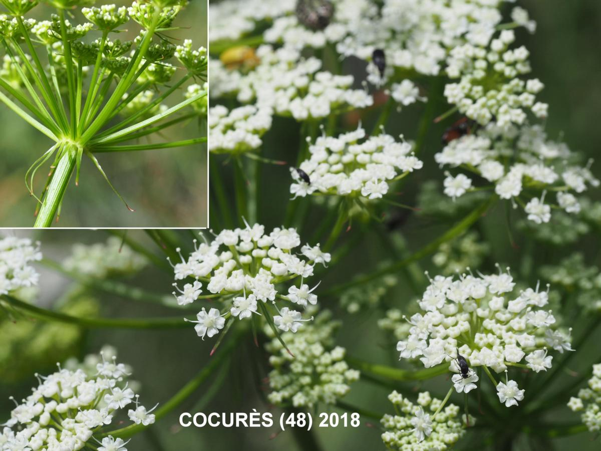 Masterwort, [Mountain parsley] flower