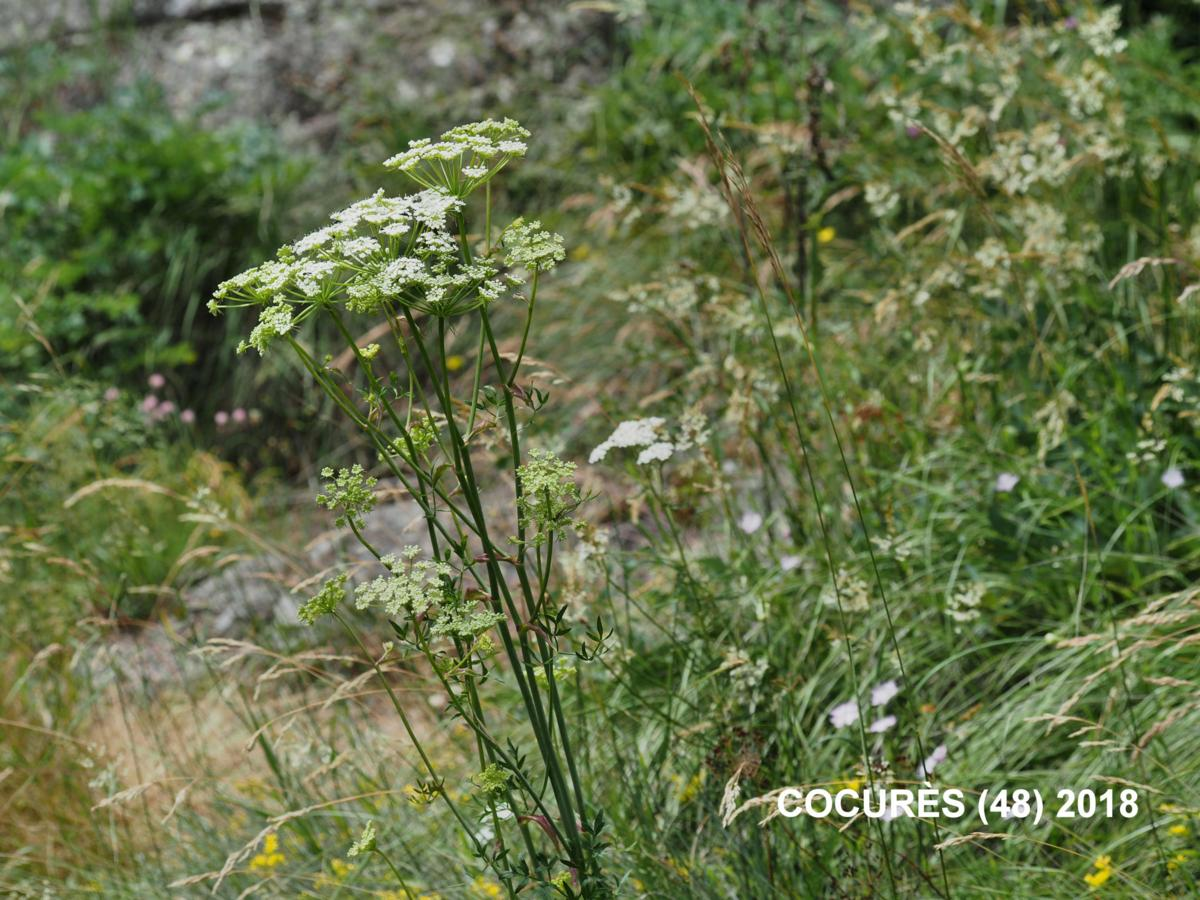 Masterwort, [Mountain parsley] plant