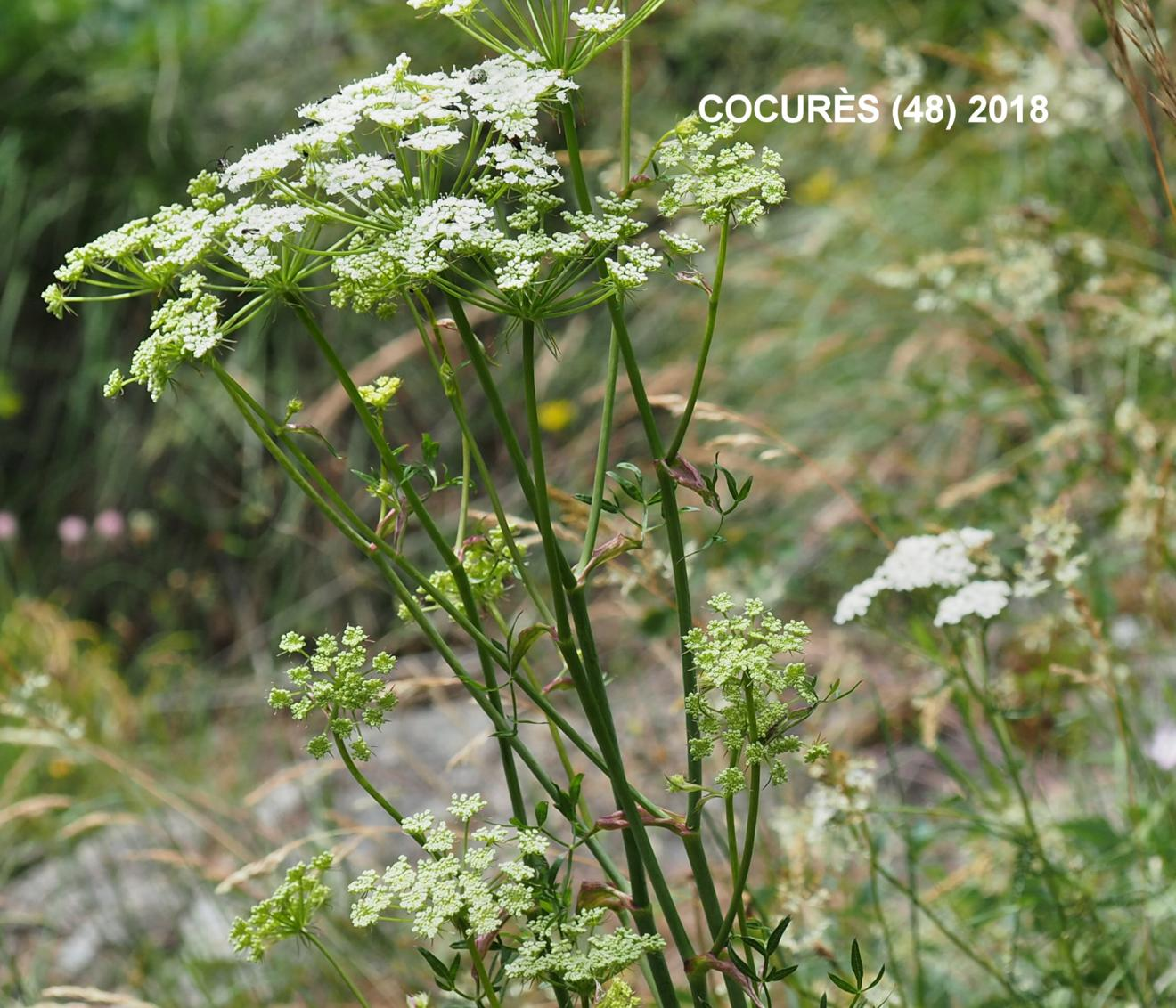 Masterwort, [Mountain parsley]
