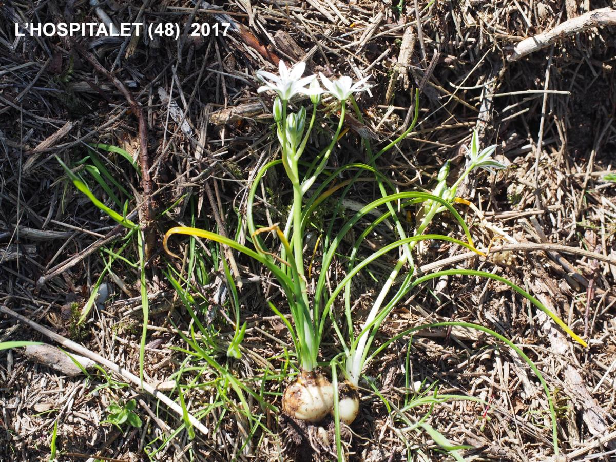 Star-of-Bethlehem, [Erect-leaved] plant