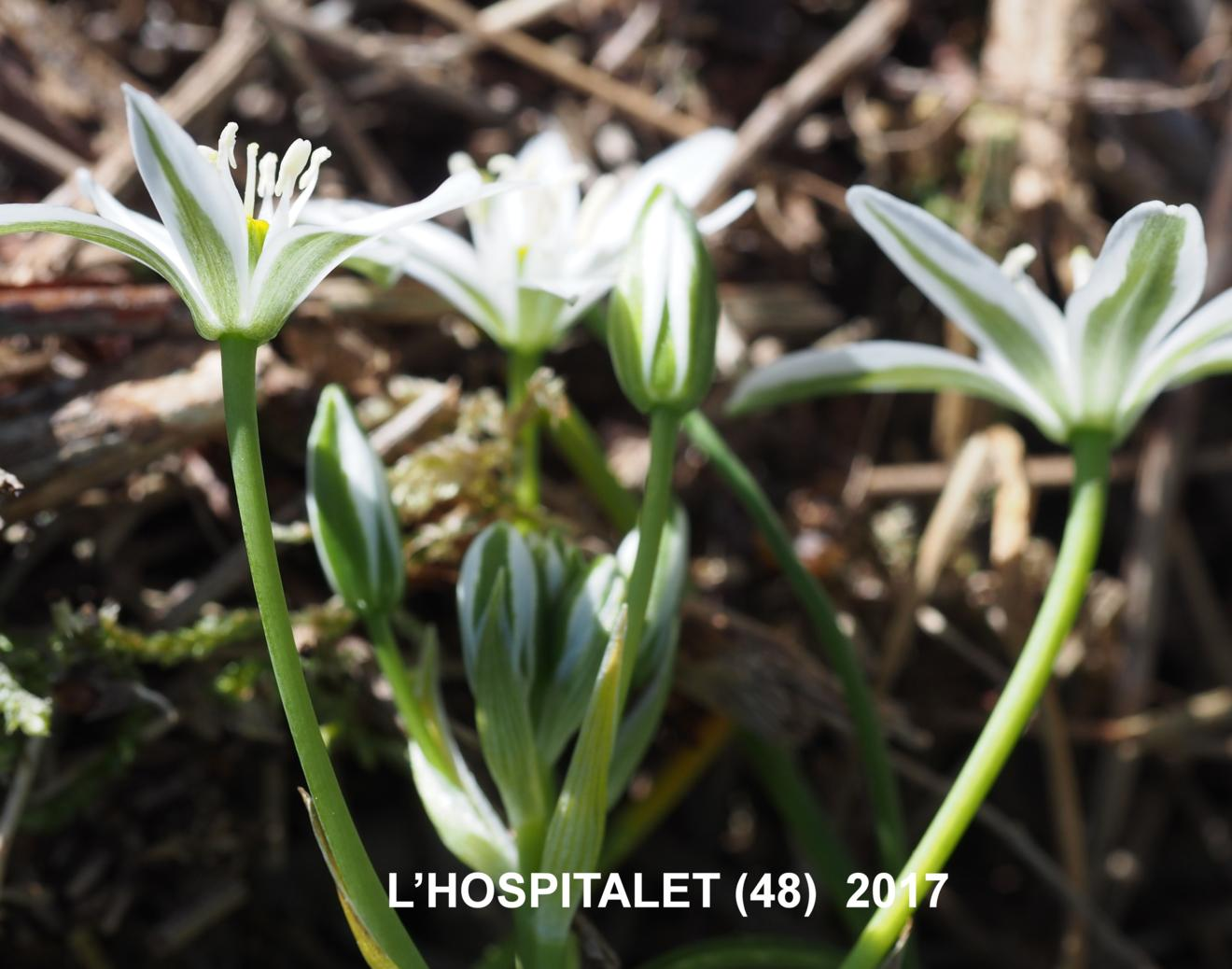 Star-of-Bethlehem, [Erect-leaved]