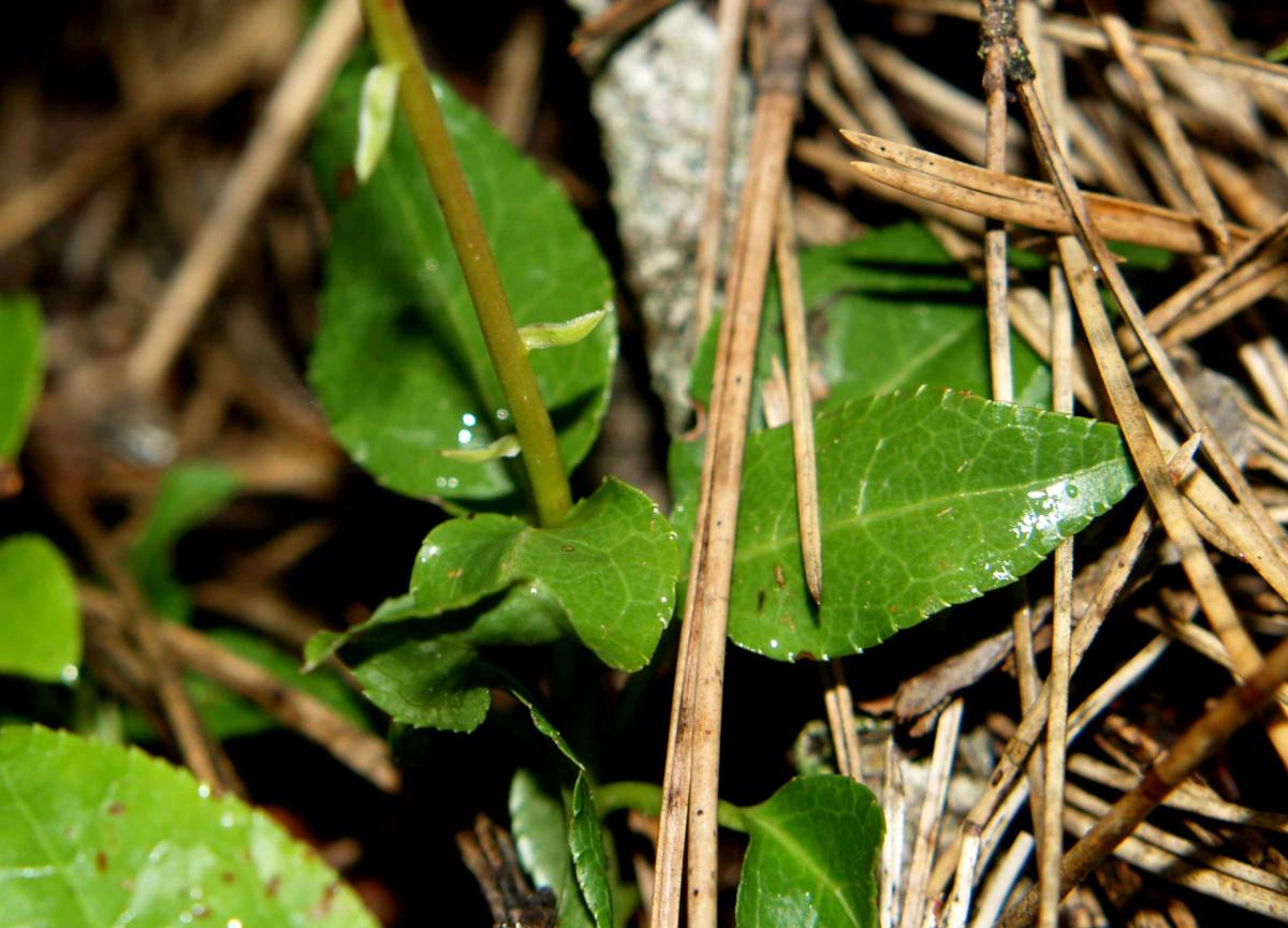 Wintergreen, Nodding leaf