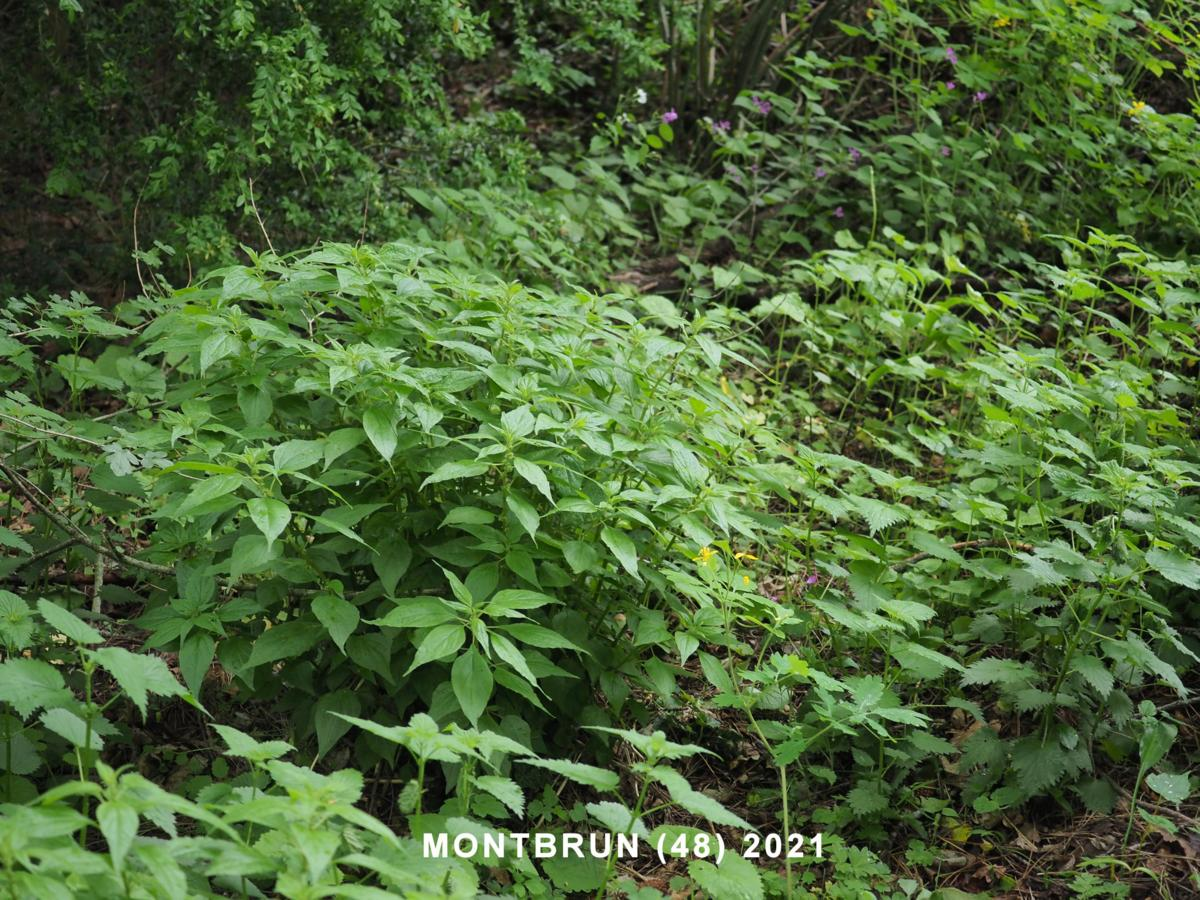Pellitory-of-the-Wall, Eastern plant