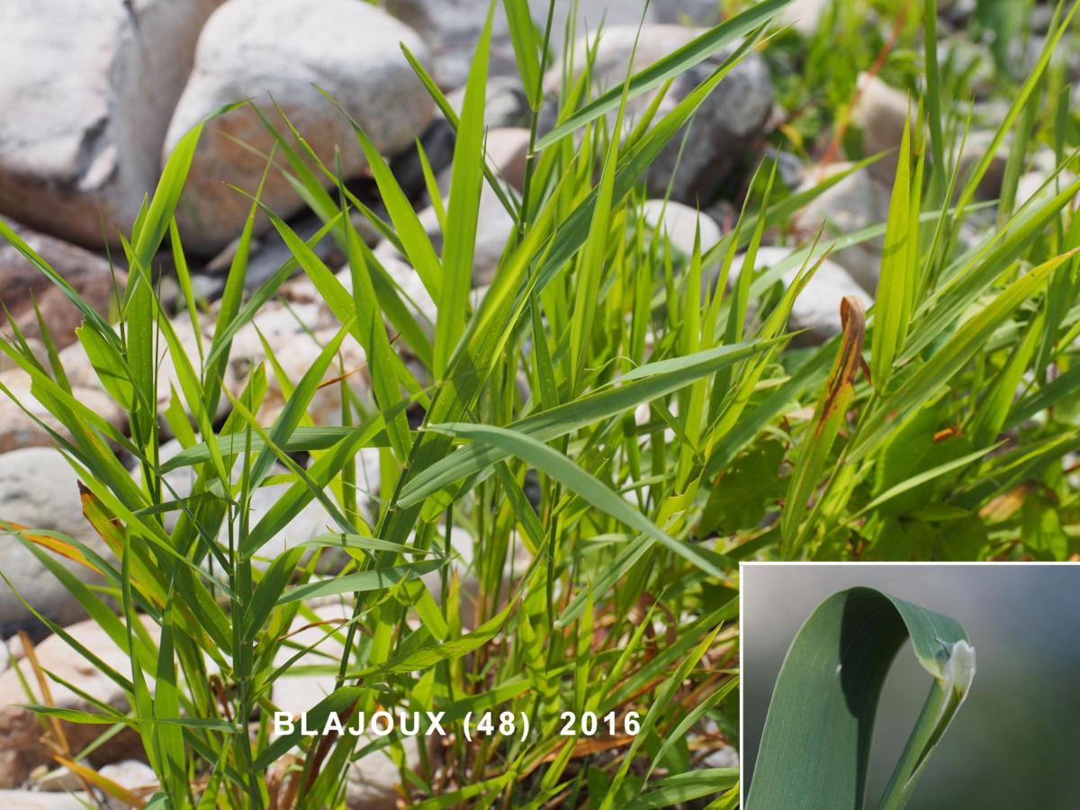 Canary grass, Reed leaf