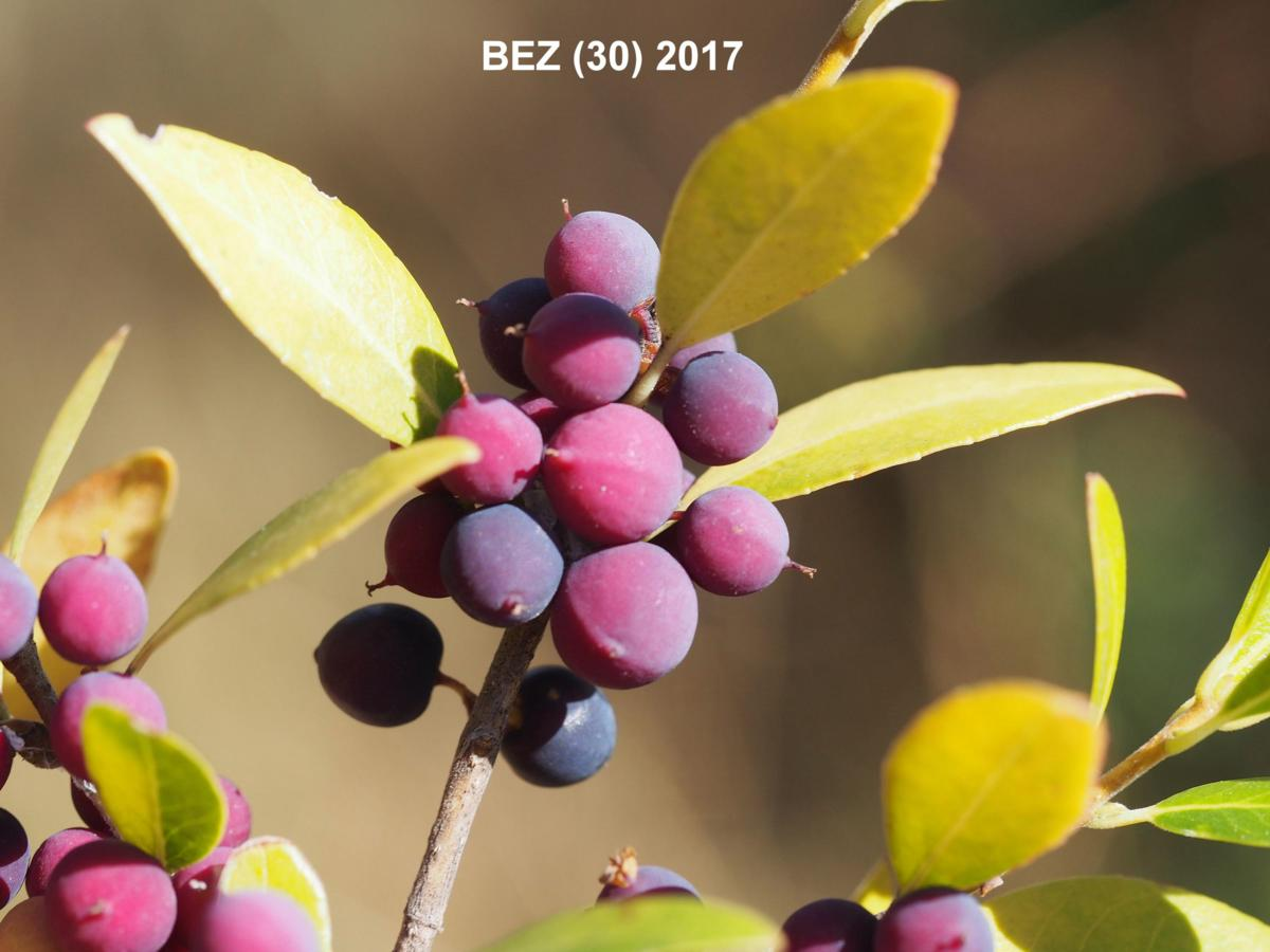 Privet, Evergreen fruit