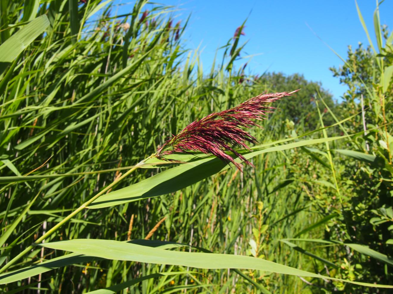 Reed, Common
