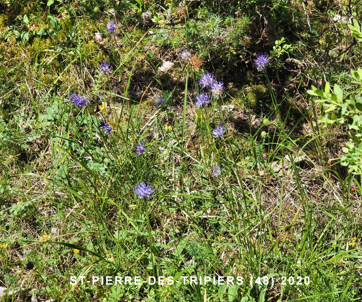 Rampion, Round-headed plant