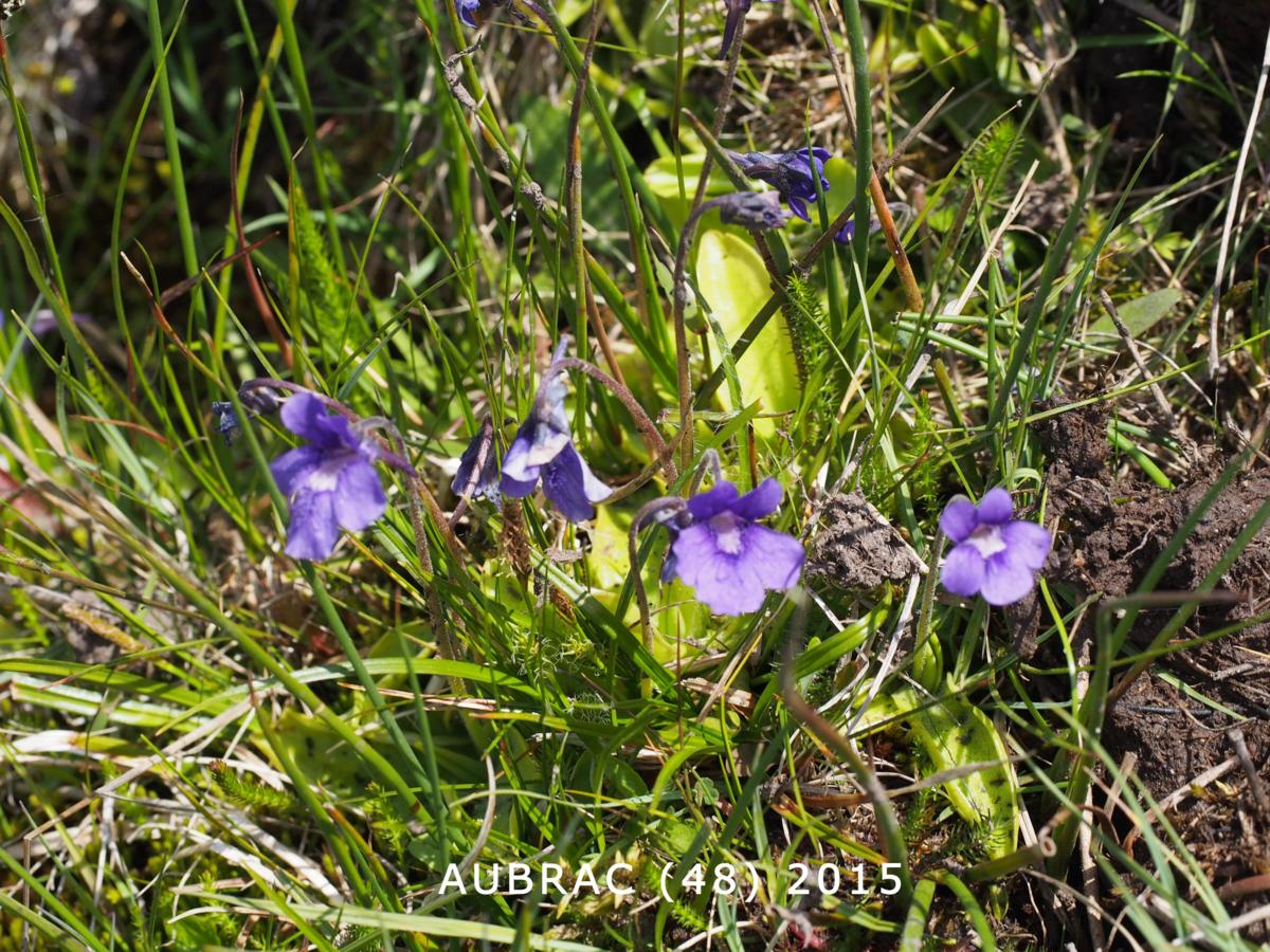 Butterwort, Large-flowered plant