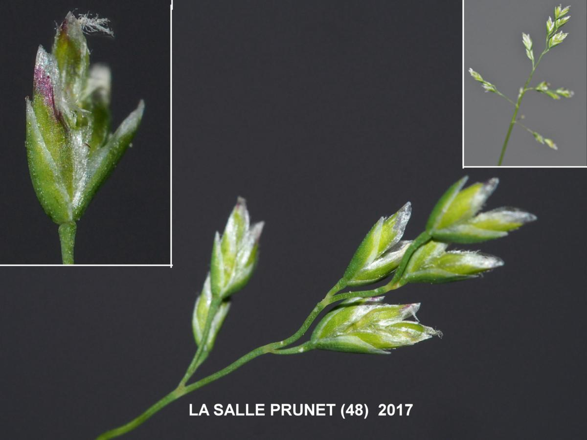 Meadow-grass, Annual flower