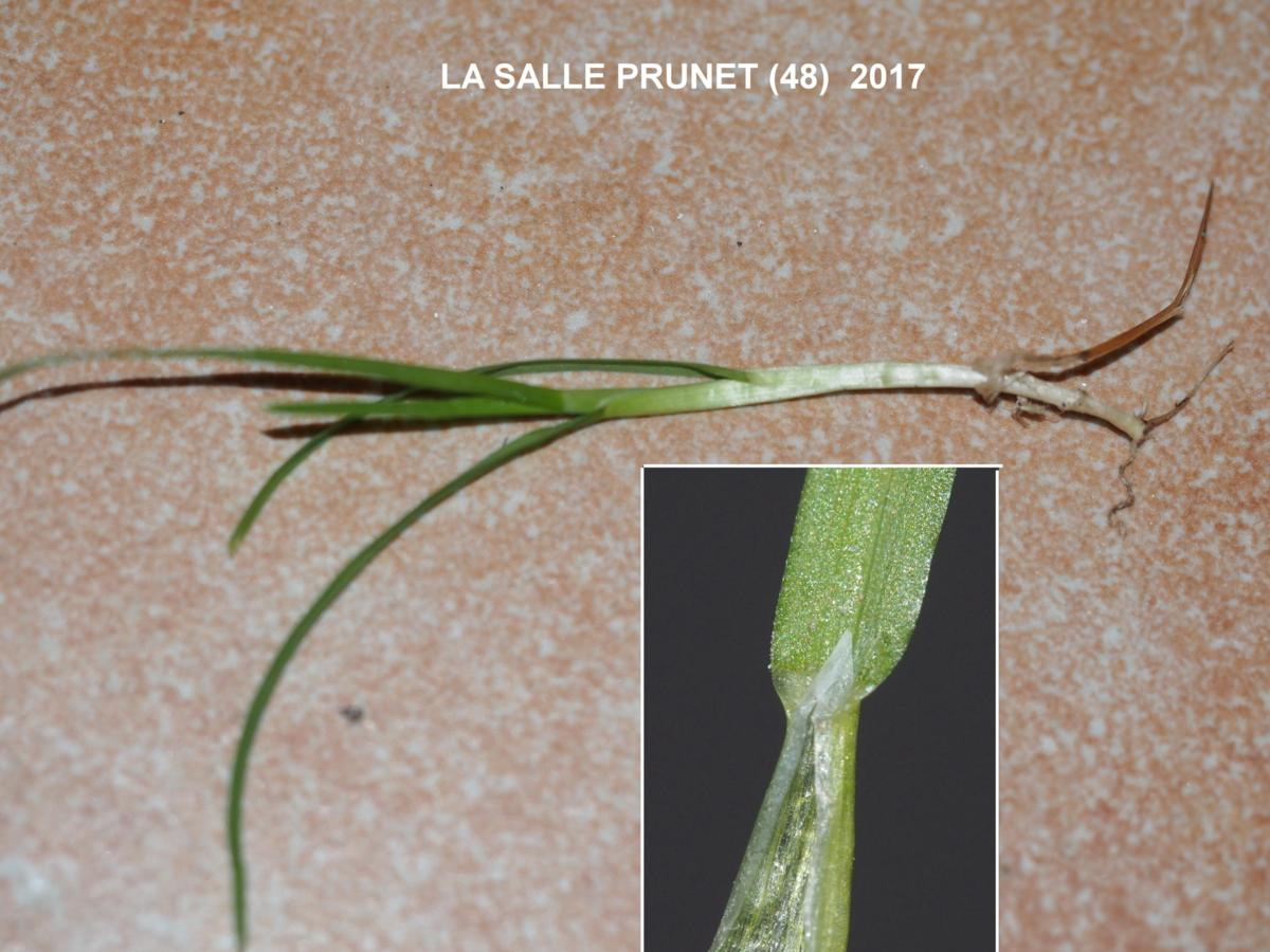 Meadow-grass, Annual leaf