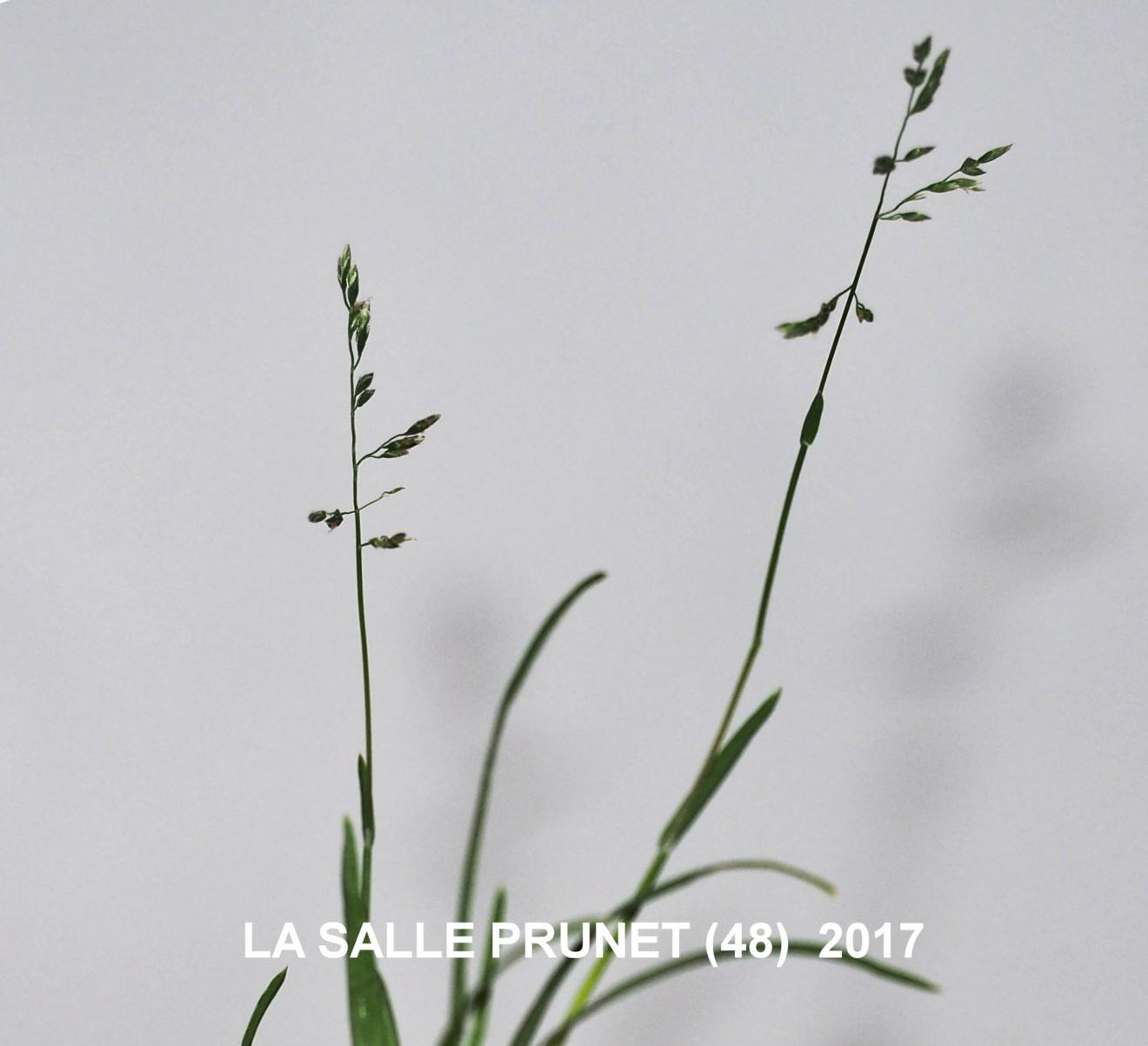 Meadow-grass, Annual