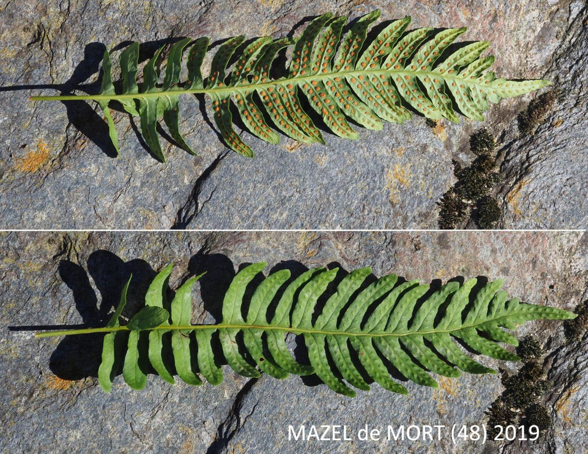 Polypody, Common leaf