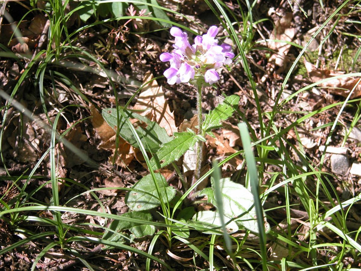 Self-Heal, Spear-leafed plant