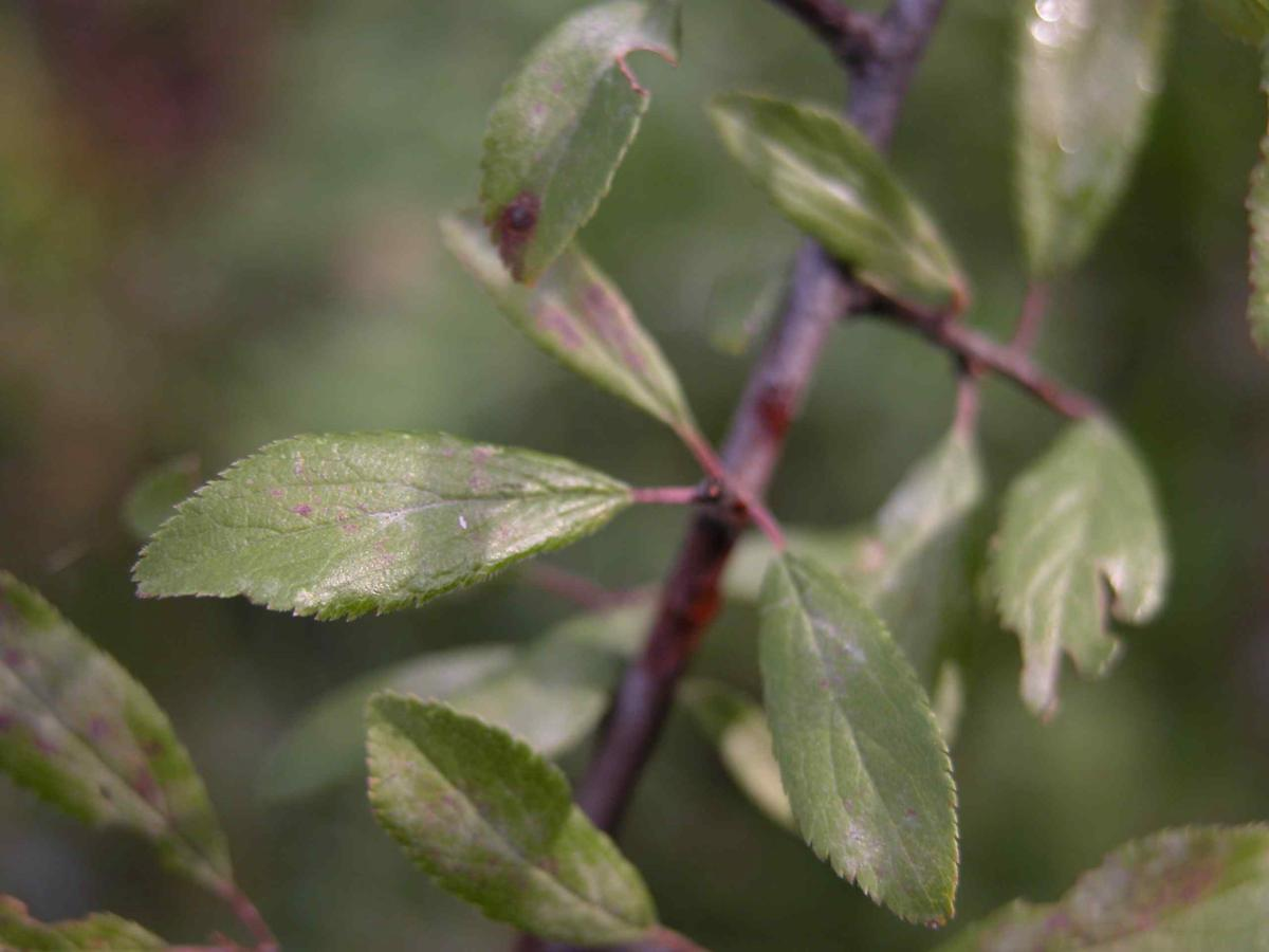 Blackthorn leaf