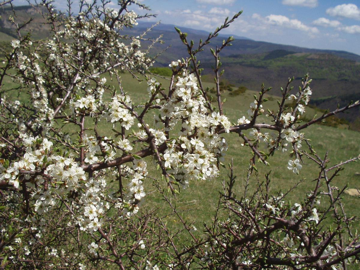 Blackthorn plant