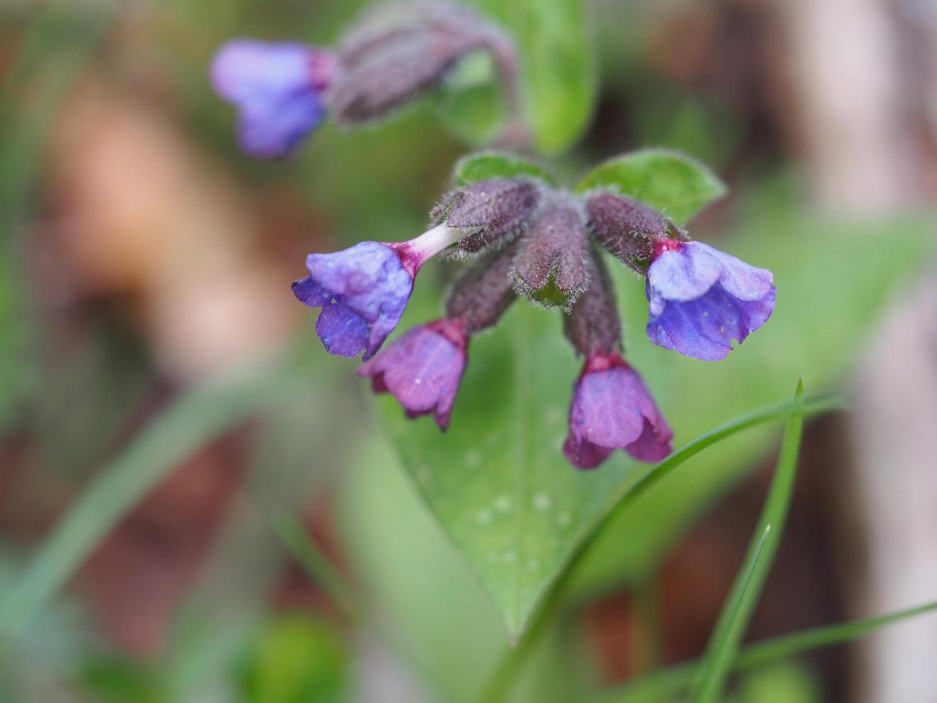 Lungwort, [Refined]