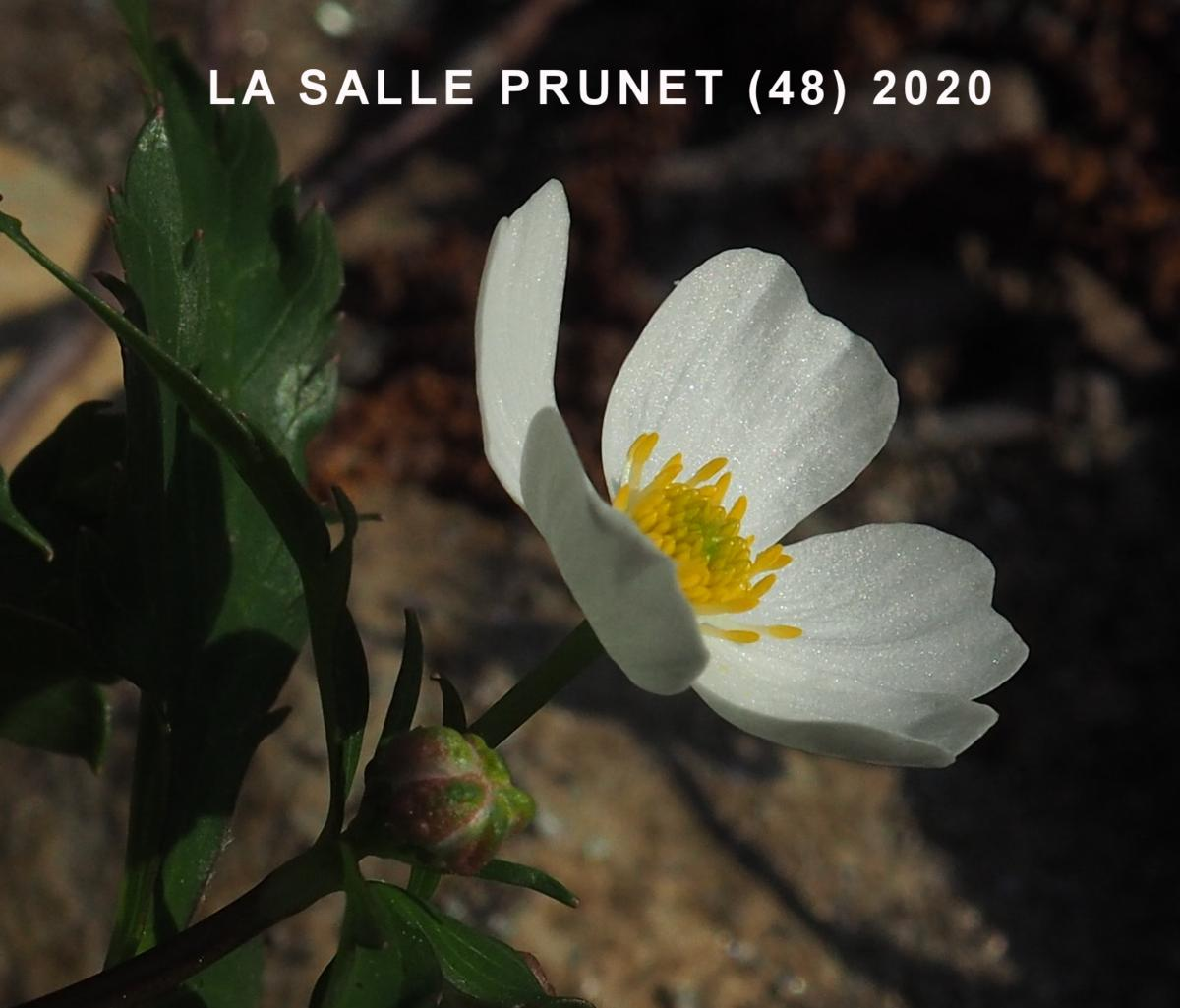 Buttercup, White flower