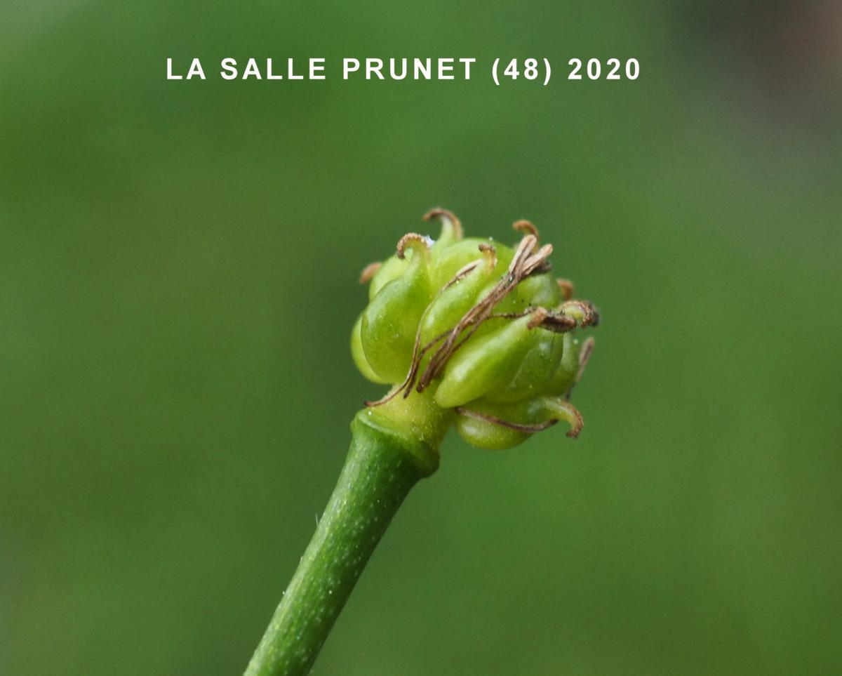 Buttercup, White fruit