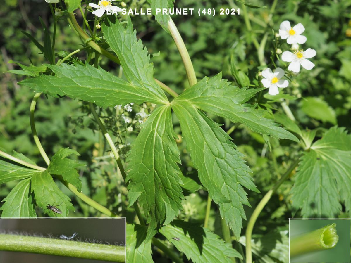 Buttercup, White leaf