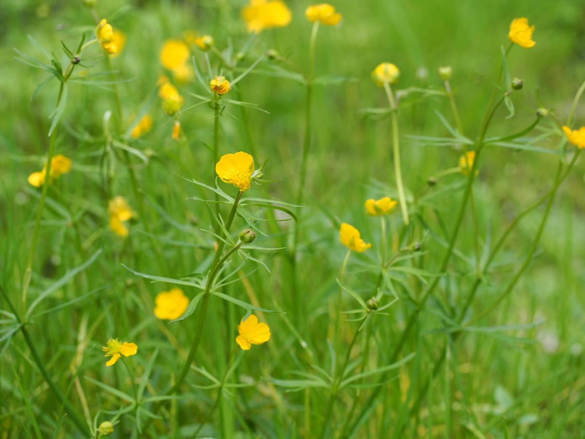 Buttercup, Goldilocks plant