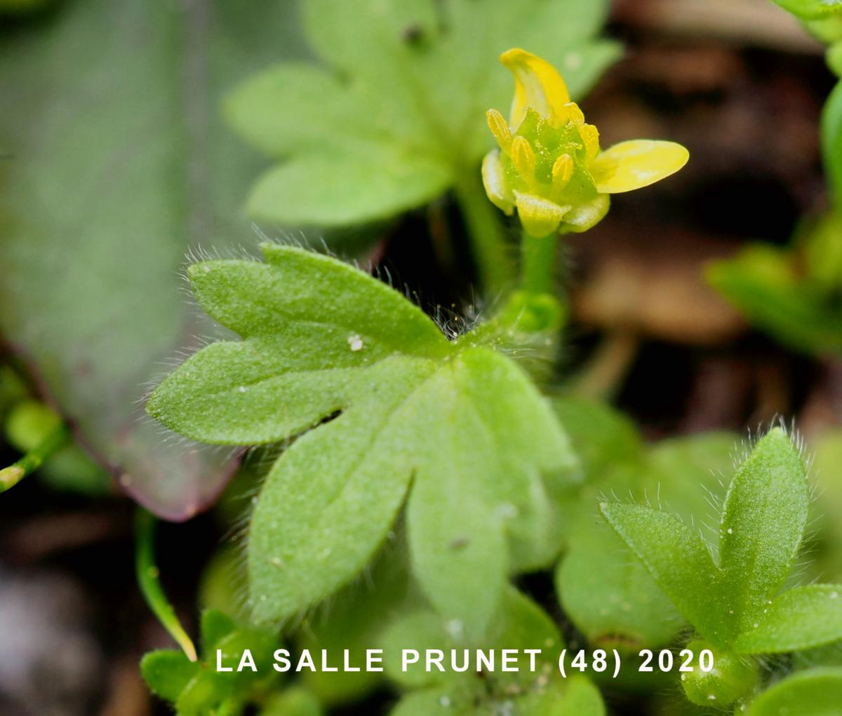 Buttercup, Small-flowered