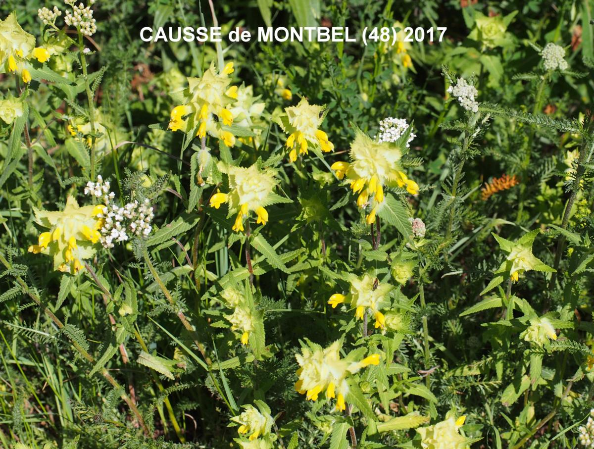 Yellow Rattle, European plant