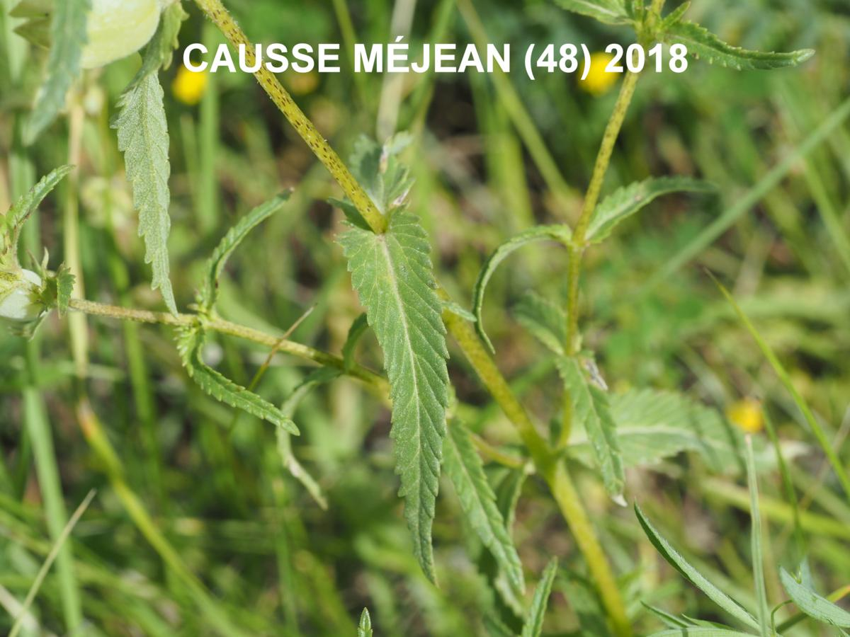 Yellow Rattle, (Mediterranean) leaf