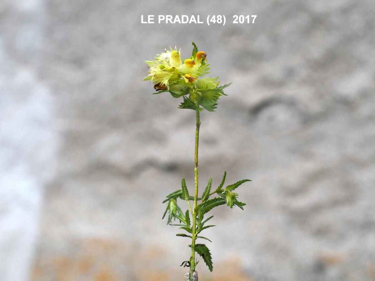 Yellow Rattle, (Mediterranean) plant
