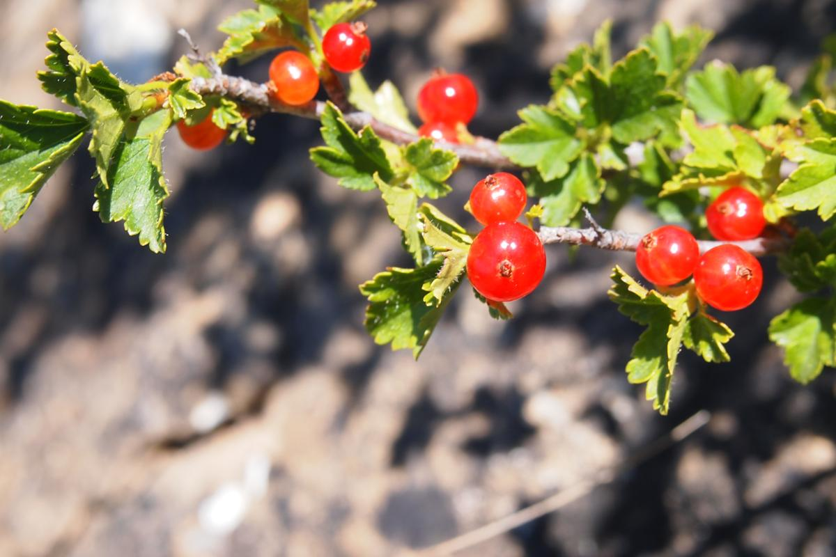 Currant, Mountain fruit
