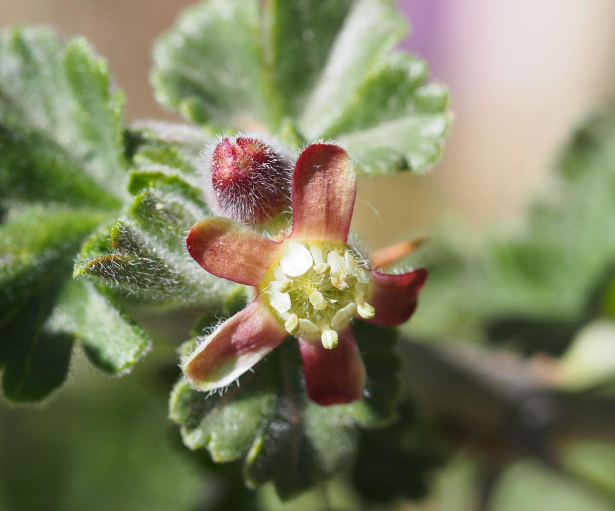 Gooseberry flower