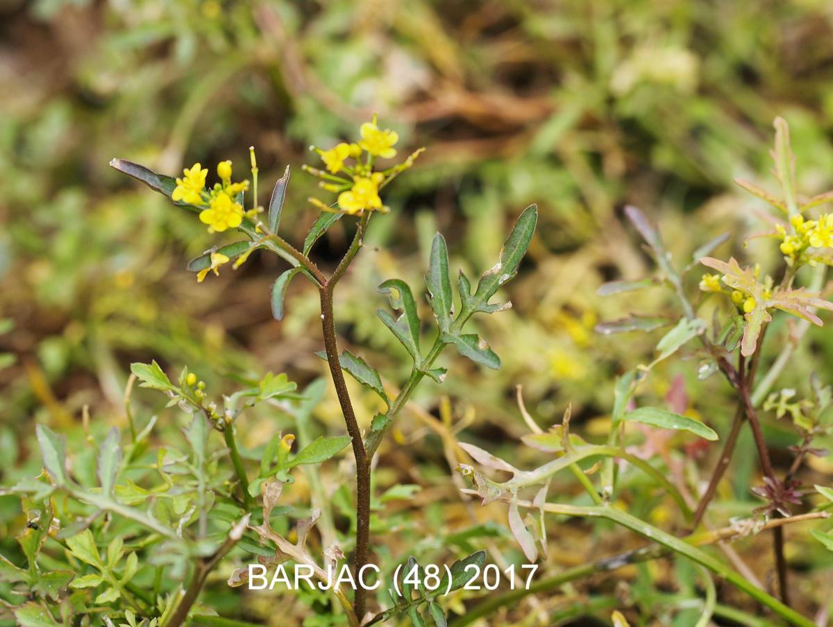 Yellow-cress, (Wood) plant