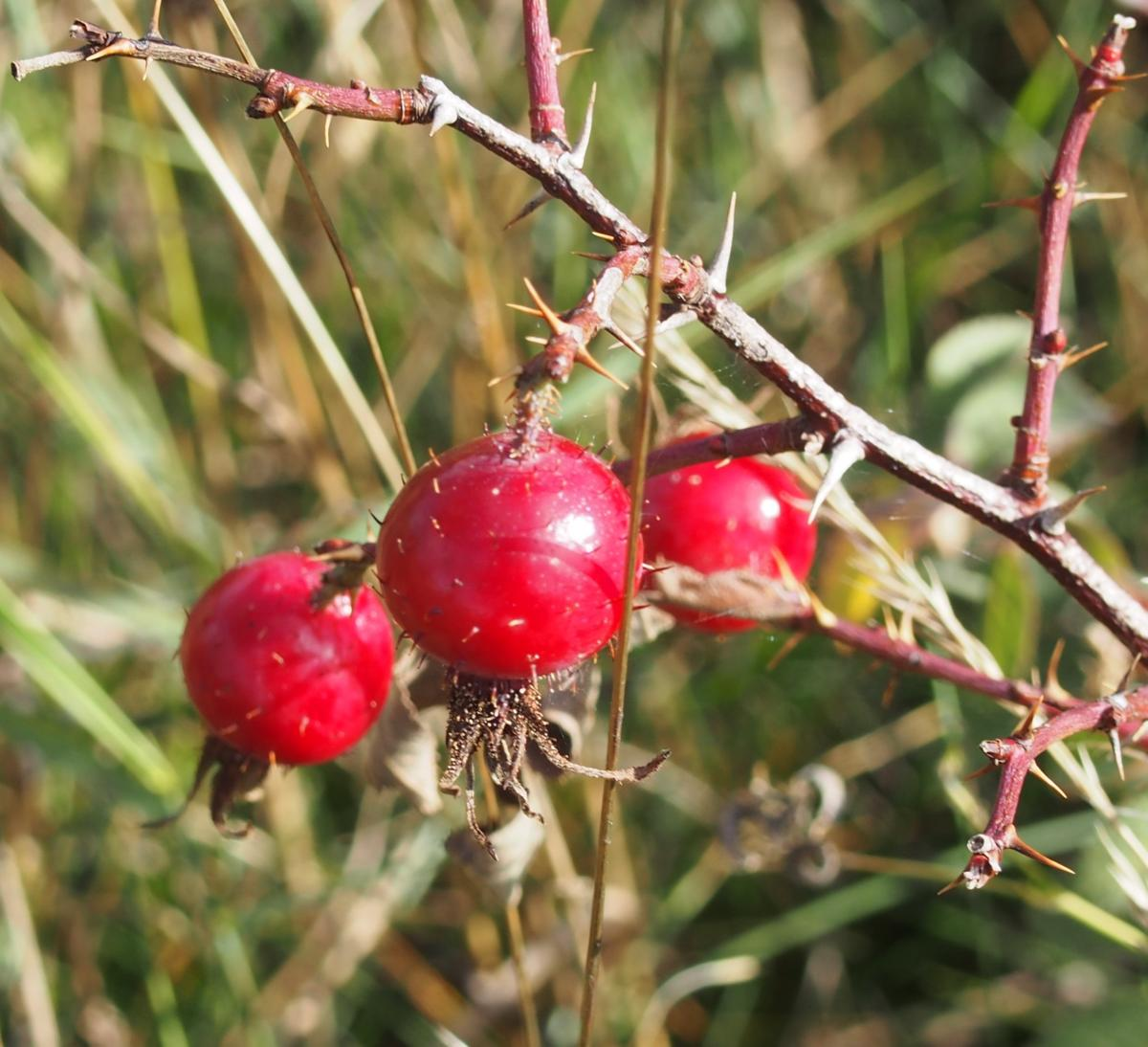 Rose, Thick-leaved fruit