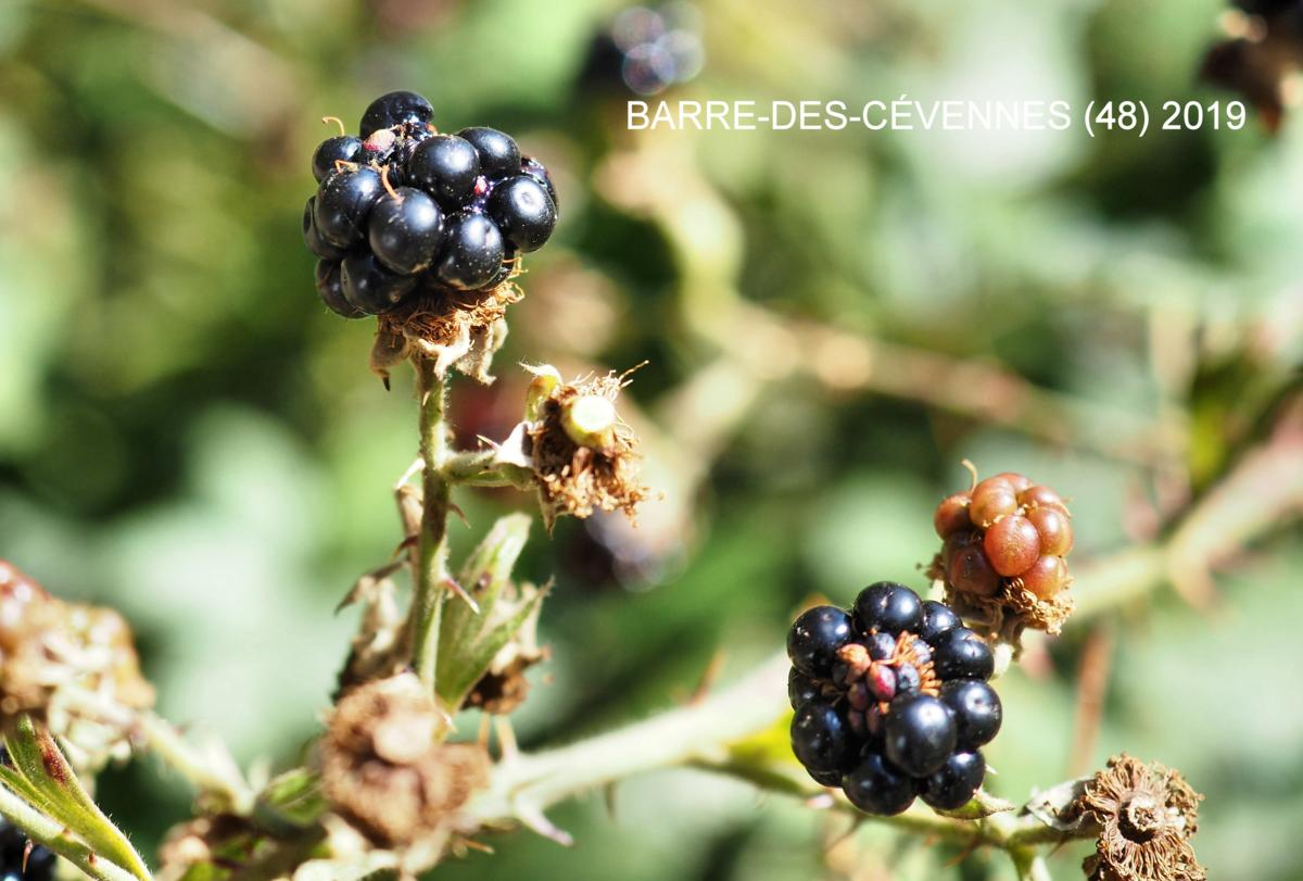 Bramble, Common fruit