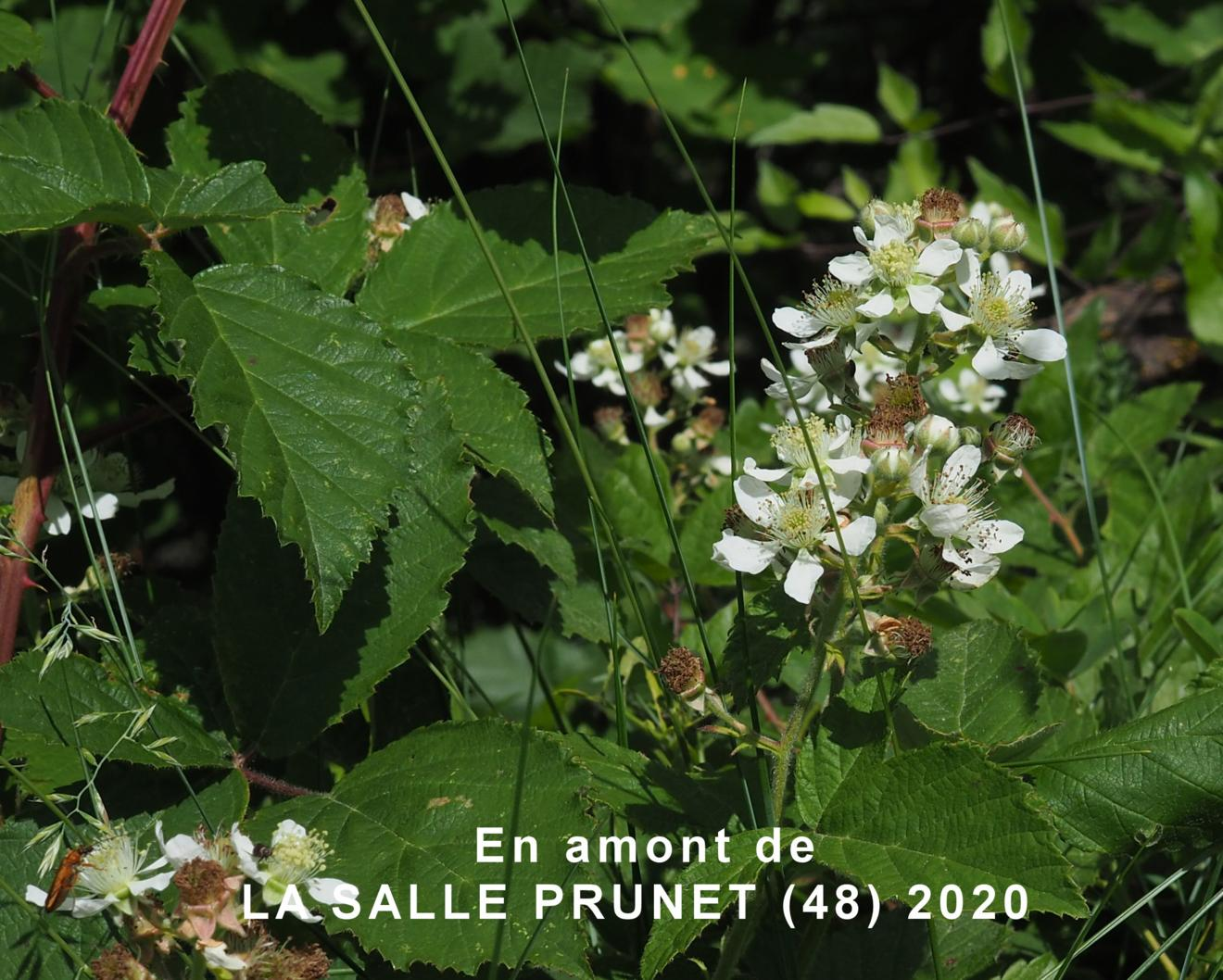 Bramble, Common